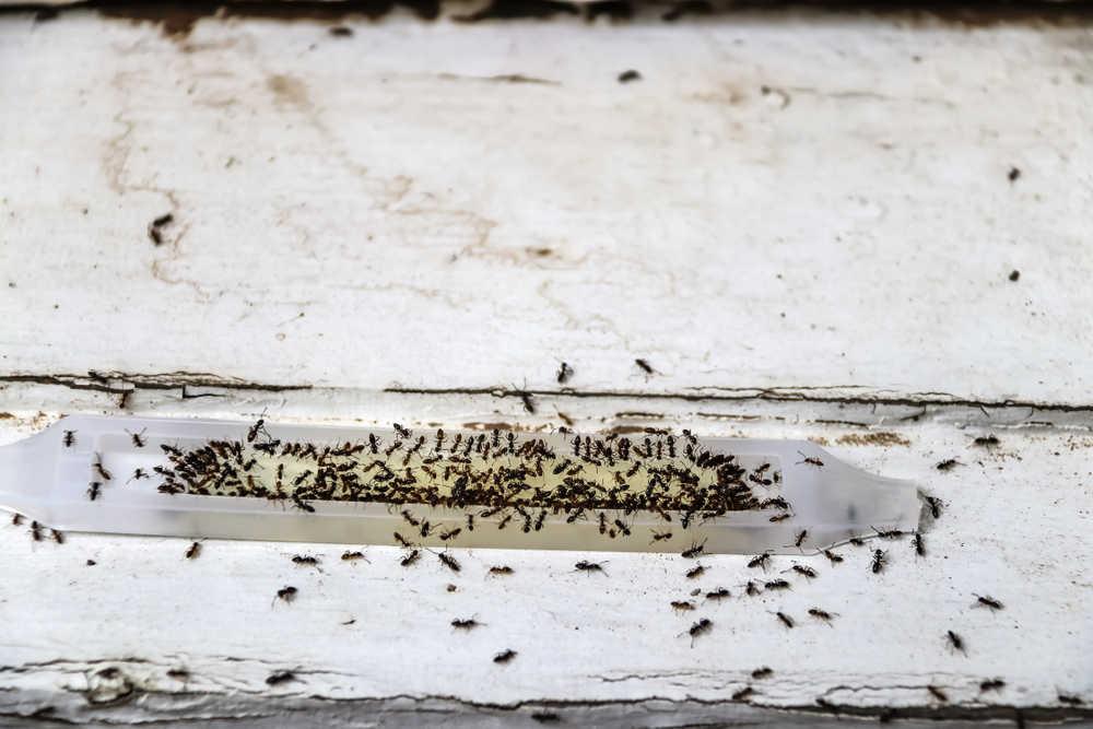 Kammerjäger Ameisen