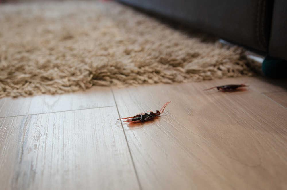 Kammerjäger Kakerlake