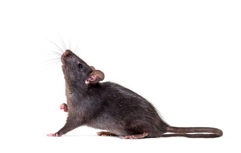 Kammerjäger Ratte