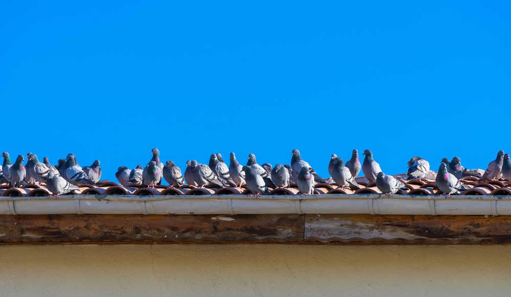 Kammerjäger Tauben