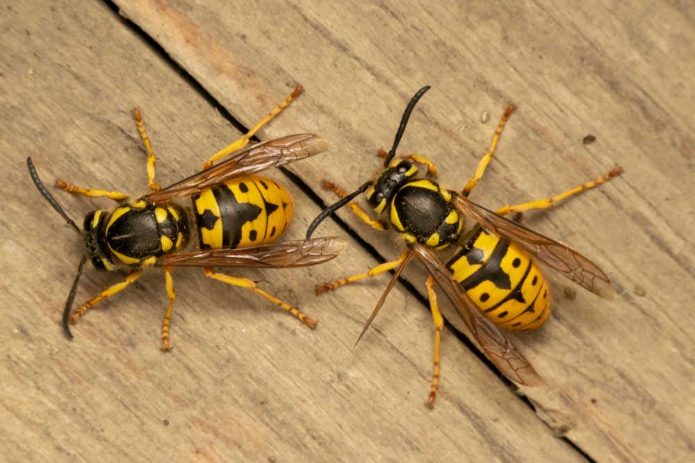 Kammerjäger Wespen