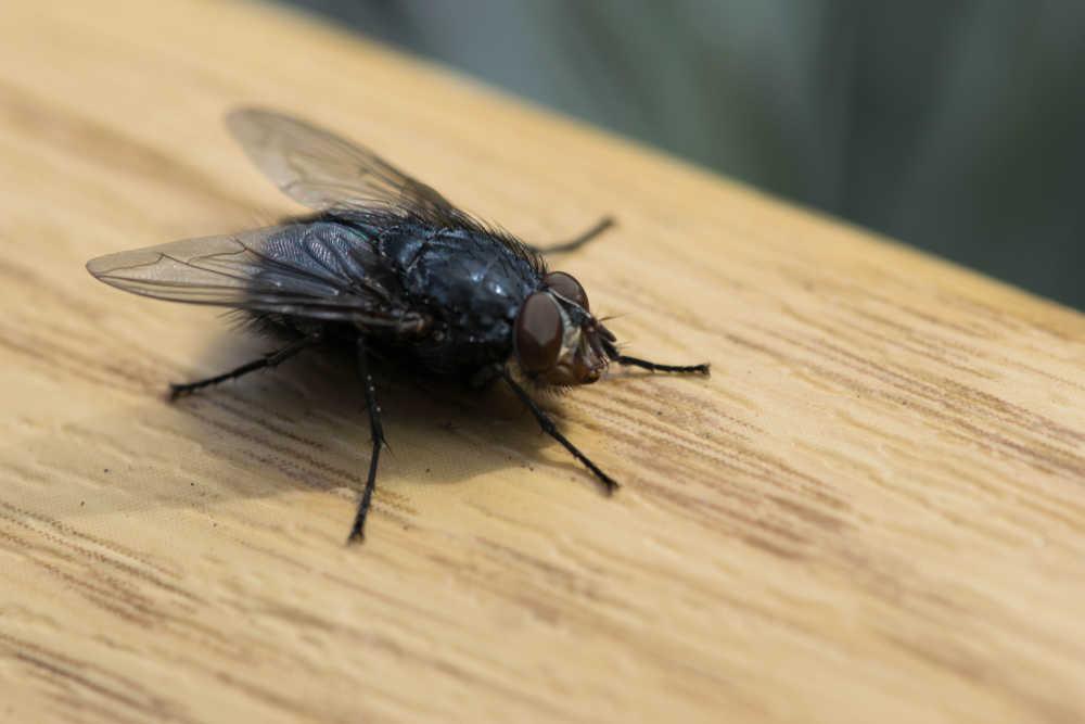 Schädlingsbekämpfung Fliege