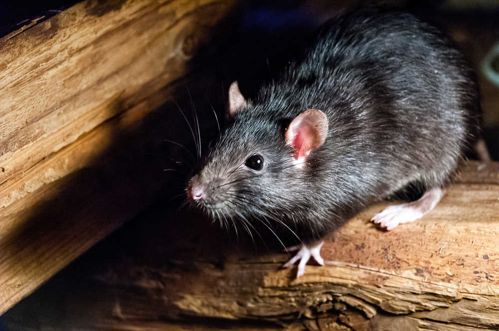 Schädlingsbekämpfung Ratte